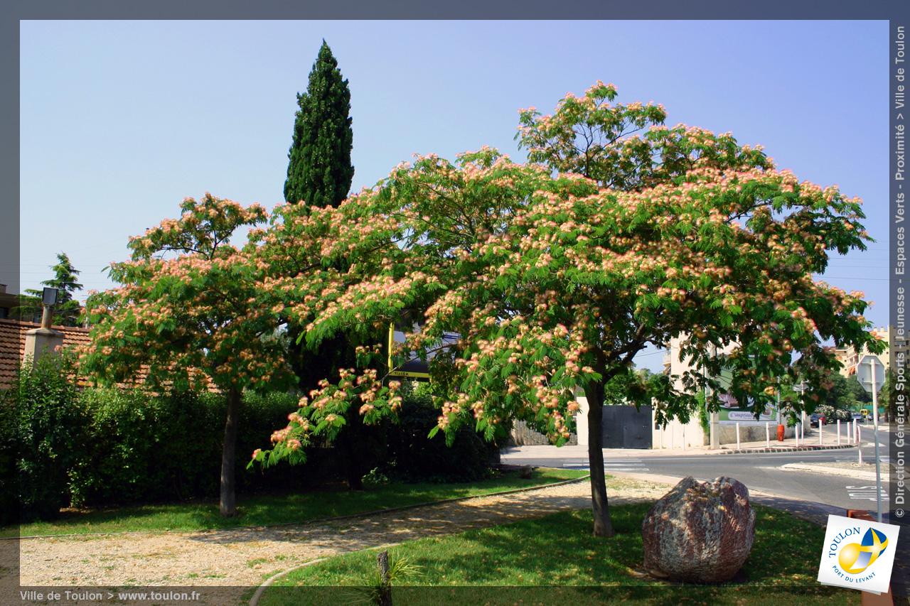 L 39 arbre de soie site officiel de la ville de toulon - Arbre ver a soie ...